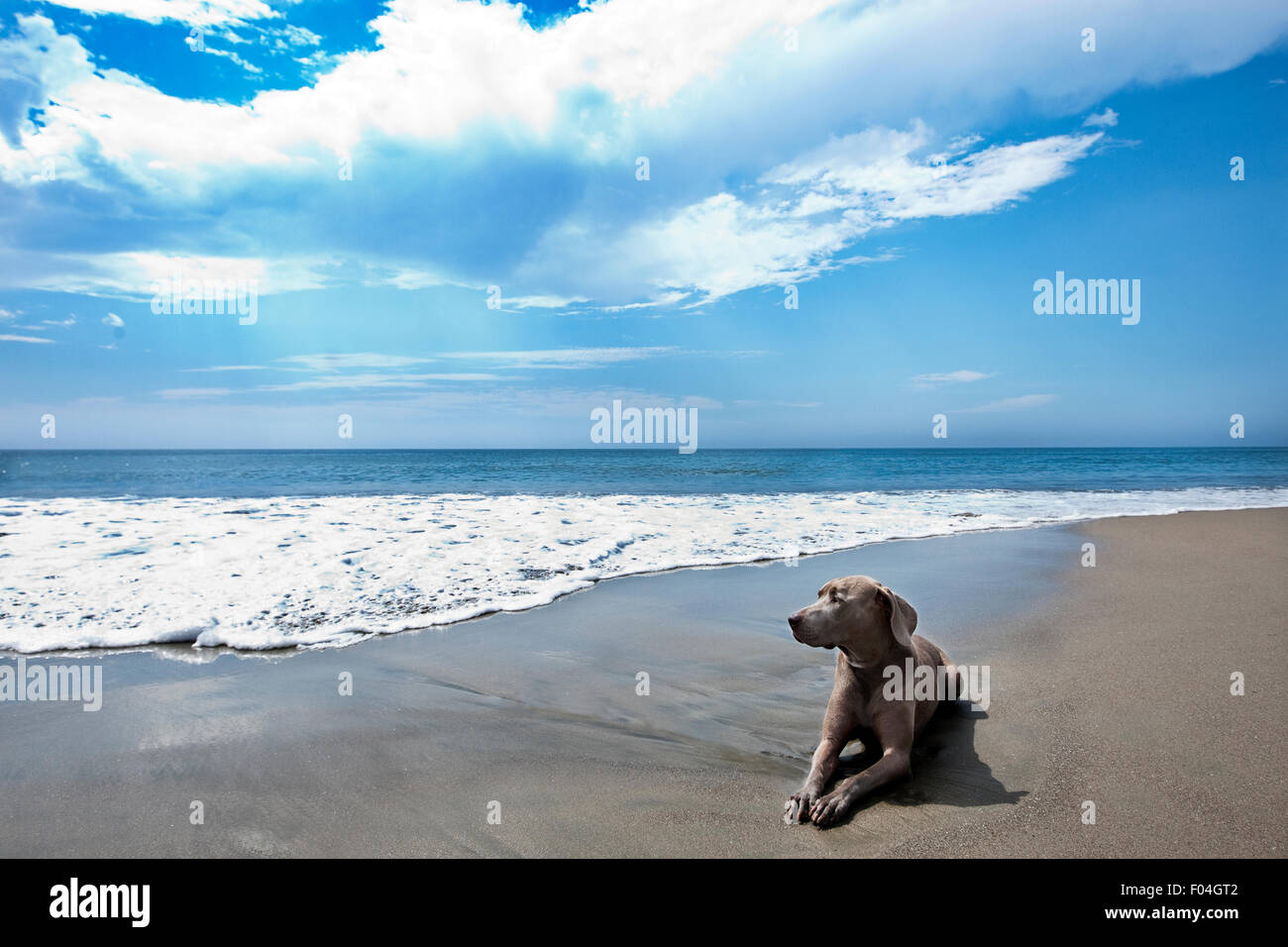 A majestic landscape of Weimaraner dog laying in hard packed sand at oceans edge with big blue sky white clouds - Stock Image
