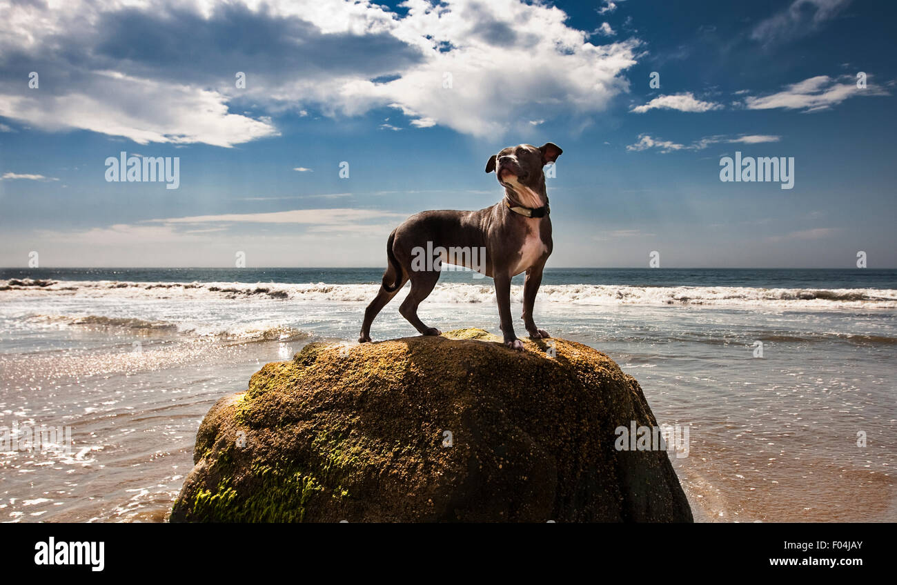 Heroic dog on top of rock at oceans edge with big blue sky and dramatic clouds - Stock Image