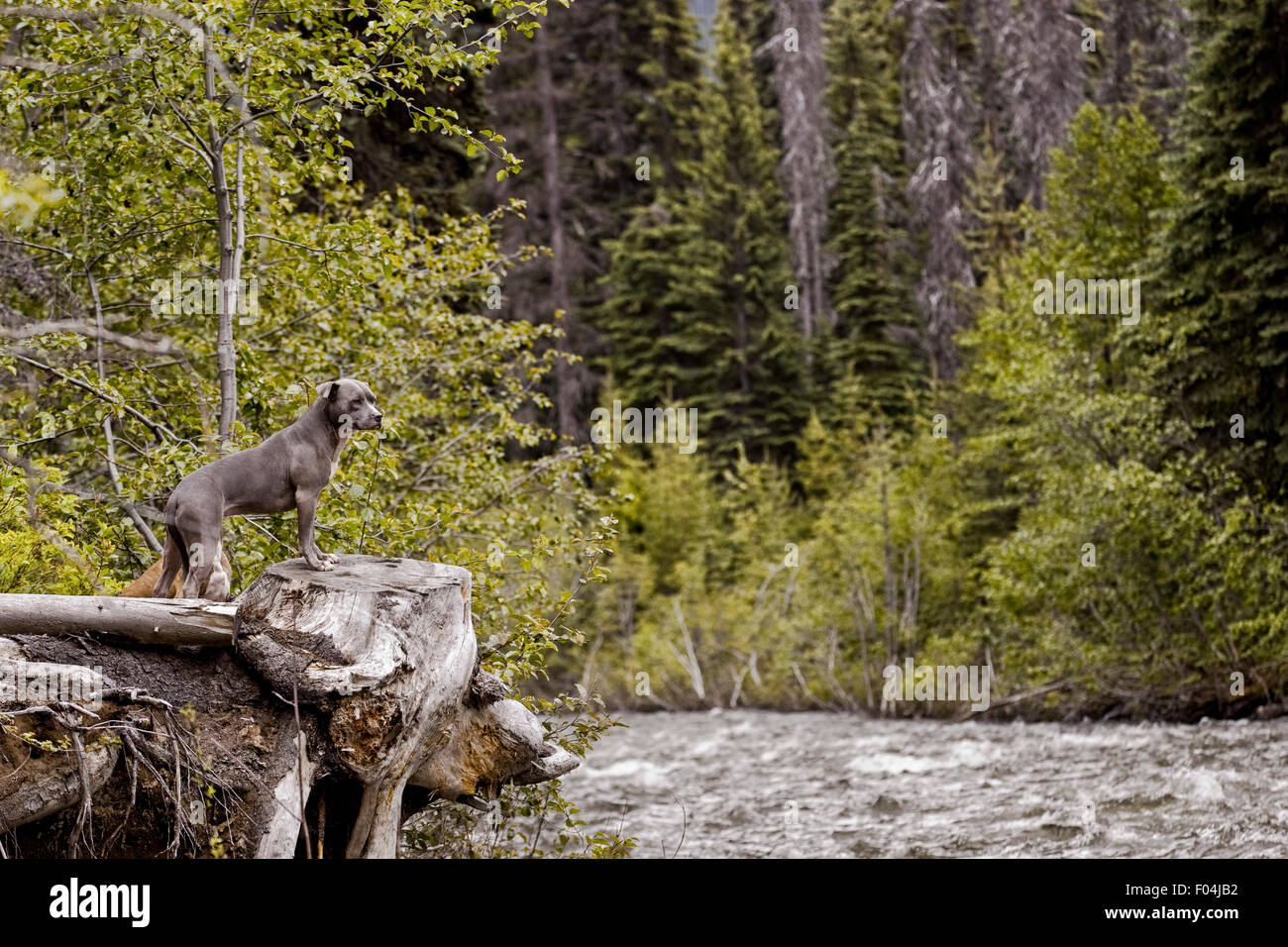 Blue adult Pitbull with front feet up on tree stump at raging rivers edge in fall bloom in forest - Stock Image