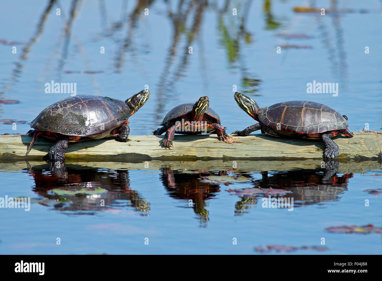 Eastern Painted Turtles resting on a Log. Stock Photo