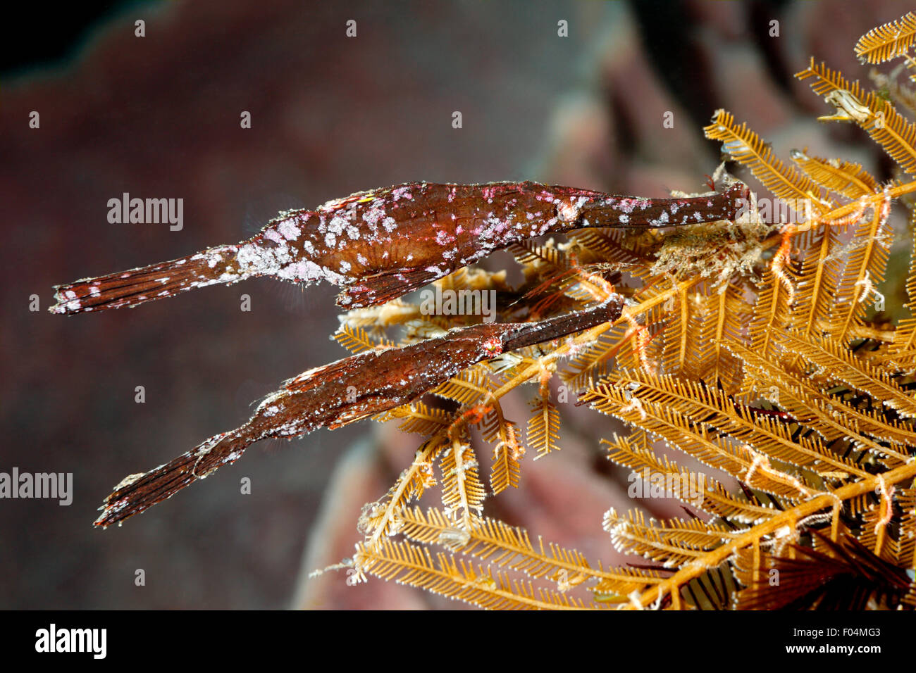 Robust Ghost Pipefish, Solenostomus cyanopterus. Female on the top, male on the bottom. - Stock Image