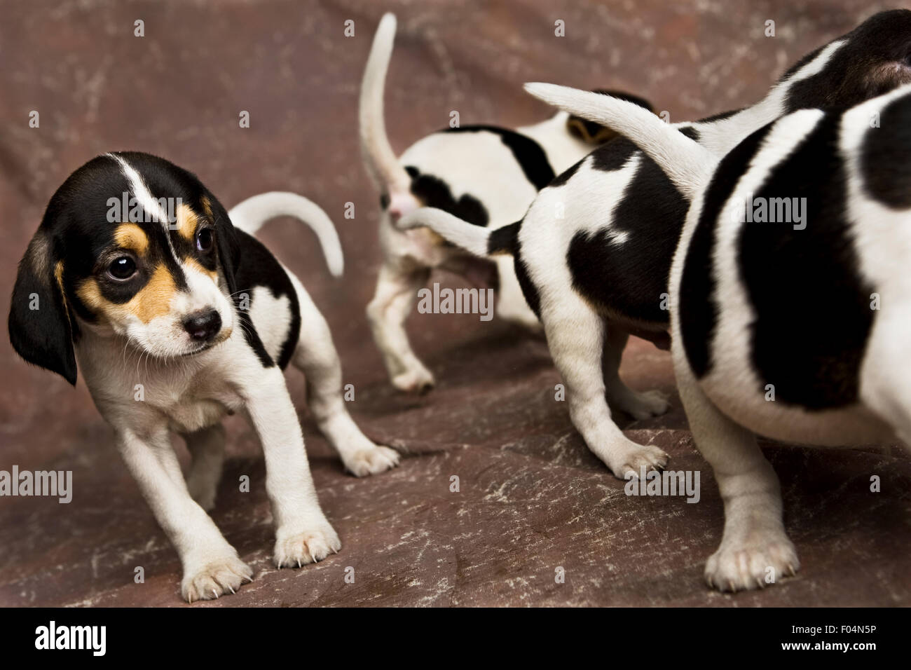 four black and white Beagle puppies walking around on brown backdrop in studio setting - Stock Image