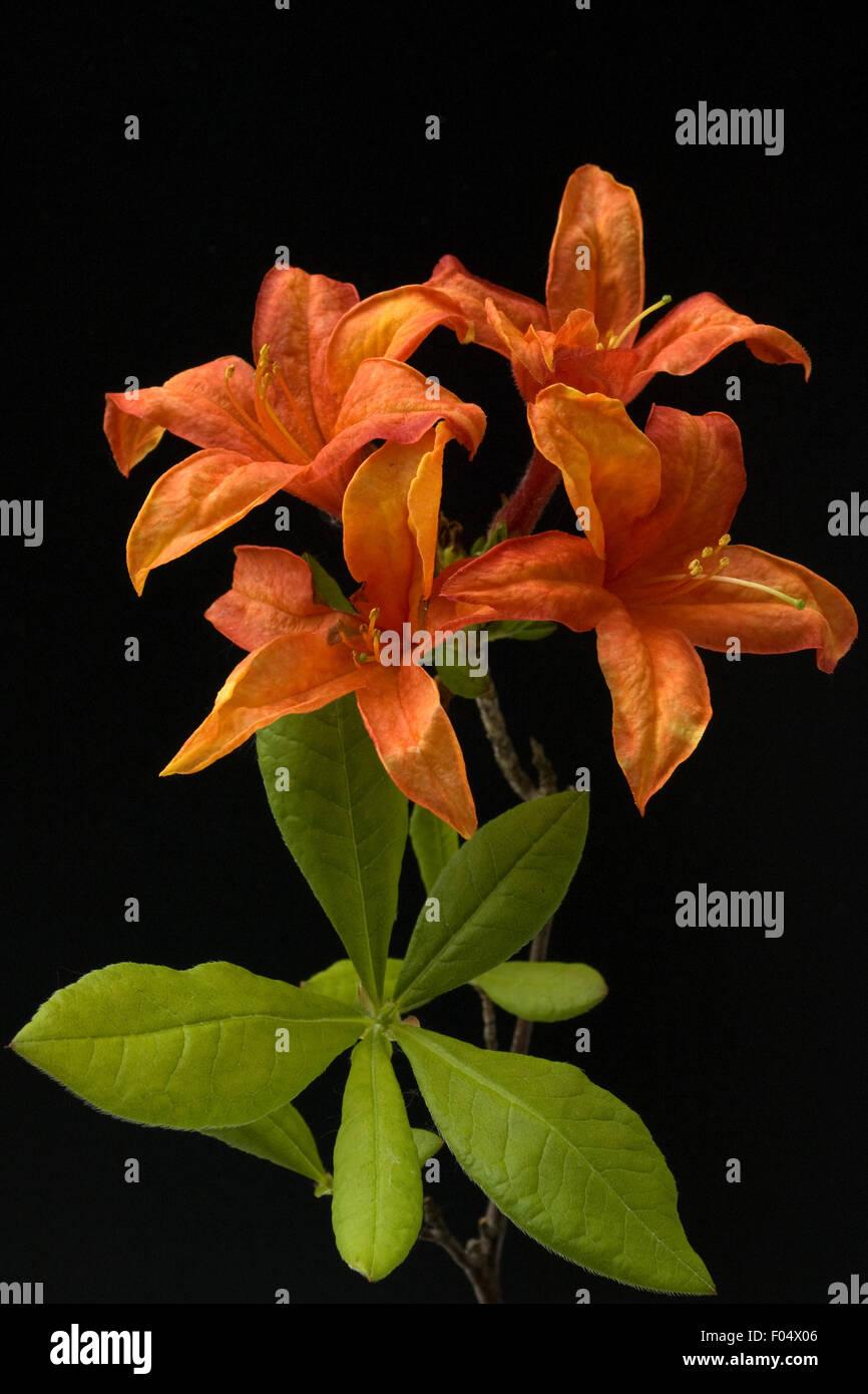 Azaleenblueten, Rhododendron, - Stock Image