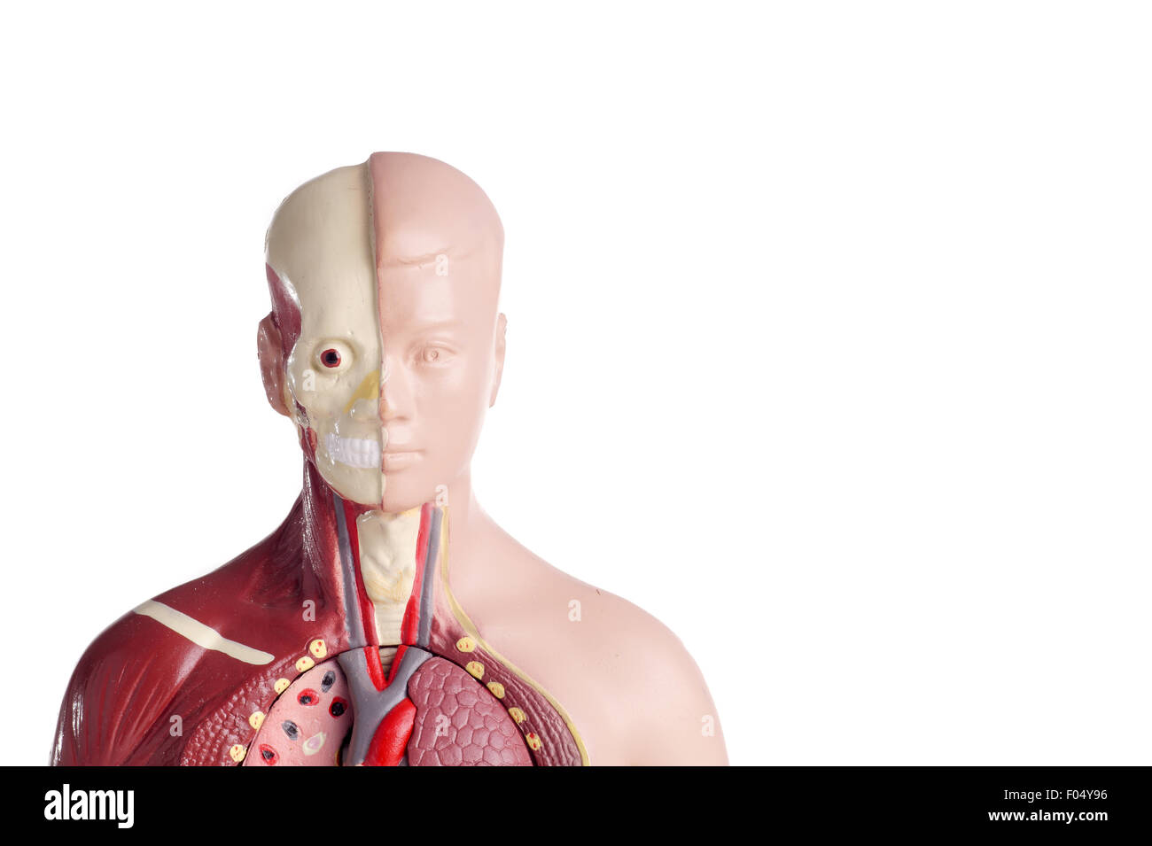 Human Anatomy Model Used For Teaching Students And Patients About