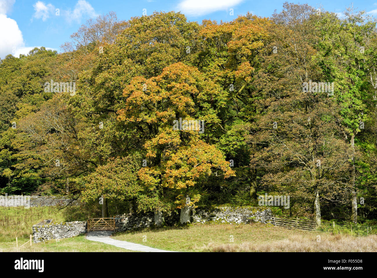 Trees beginning to get their Autumn colour in the Lake District National Park in Cumbria, England, UK - Stock Image