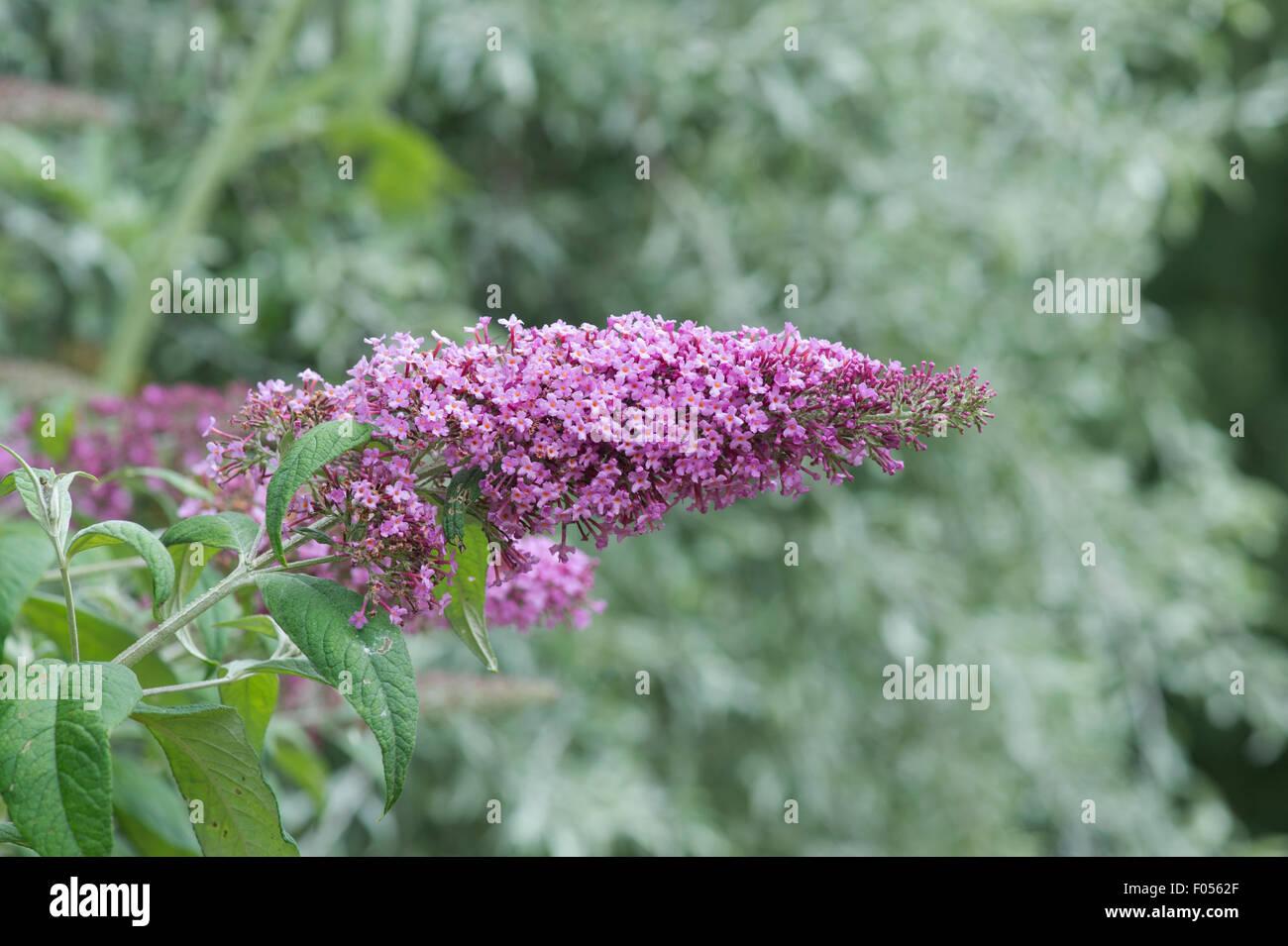 Buddleja Pikei 'Pink delight'. Butterfly bush 'Pink Delight' - Stock Image