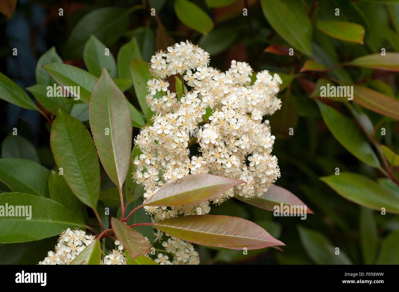 Glanzmispel; Photinia; Stock Photo
