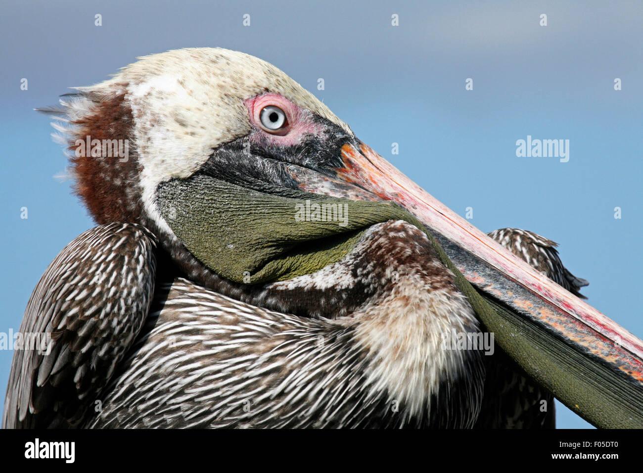 Brown pelican (Pelecanus occidentalis) close up portrait, Puerto Egas on Santiago Island / San Salvador Island, - Stock Image