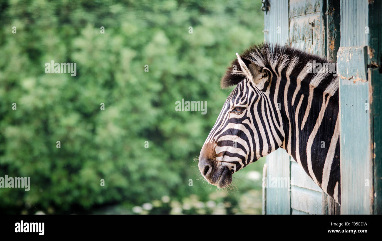Zebra Looking out of Stable like a Horse - Stock Image