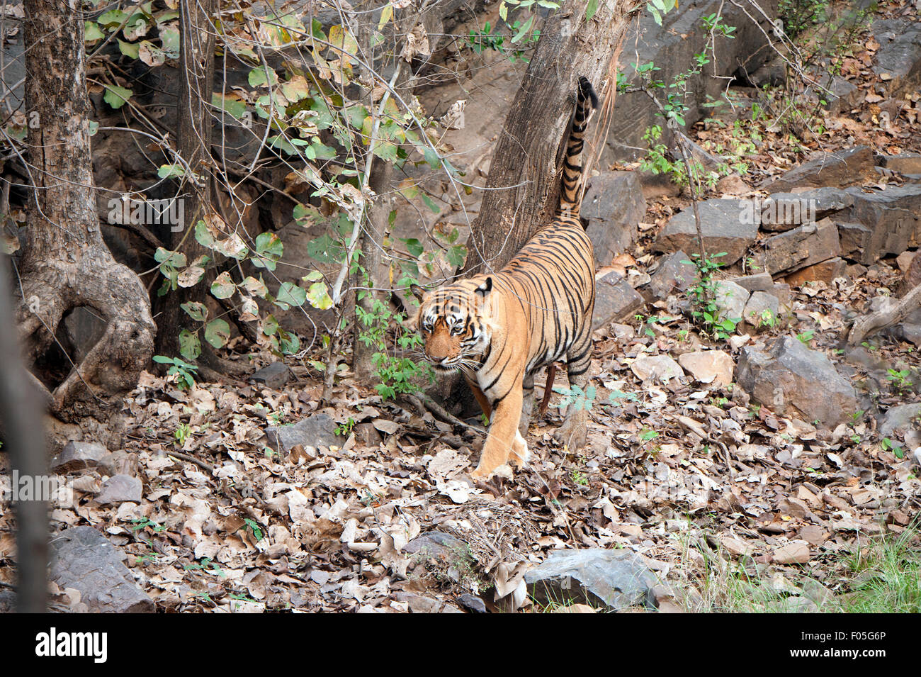 The was taken in Ranthambore national park -India - Stock Image