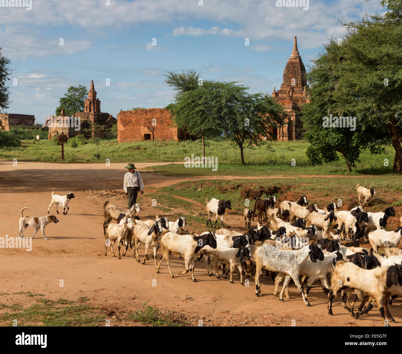 Goatherd and goats in Min Nan Thu village of Bagan, Myanmar with temples in background Stock Photo