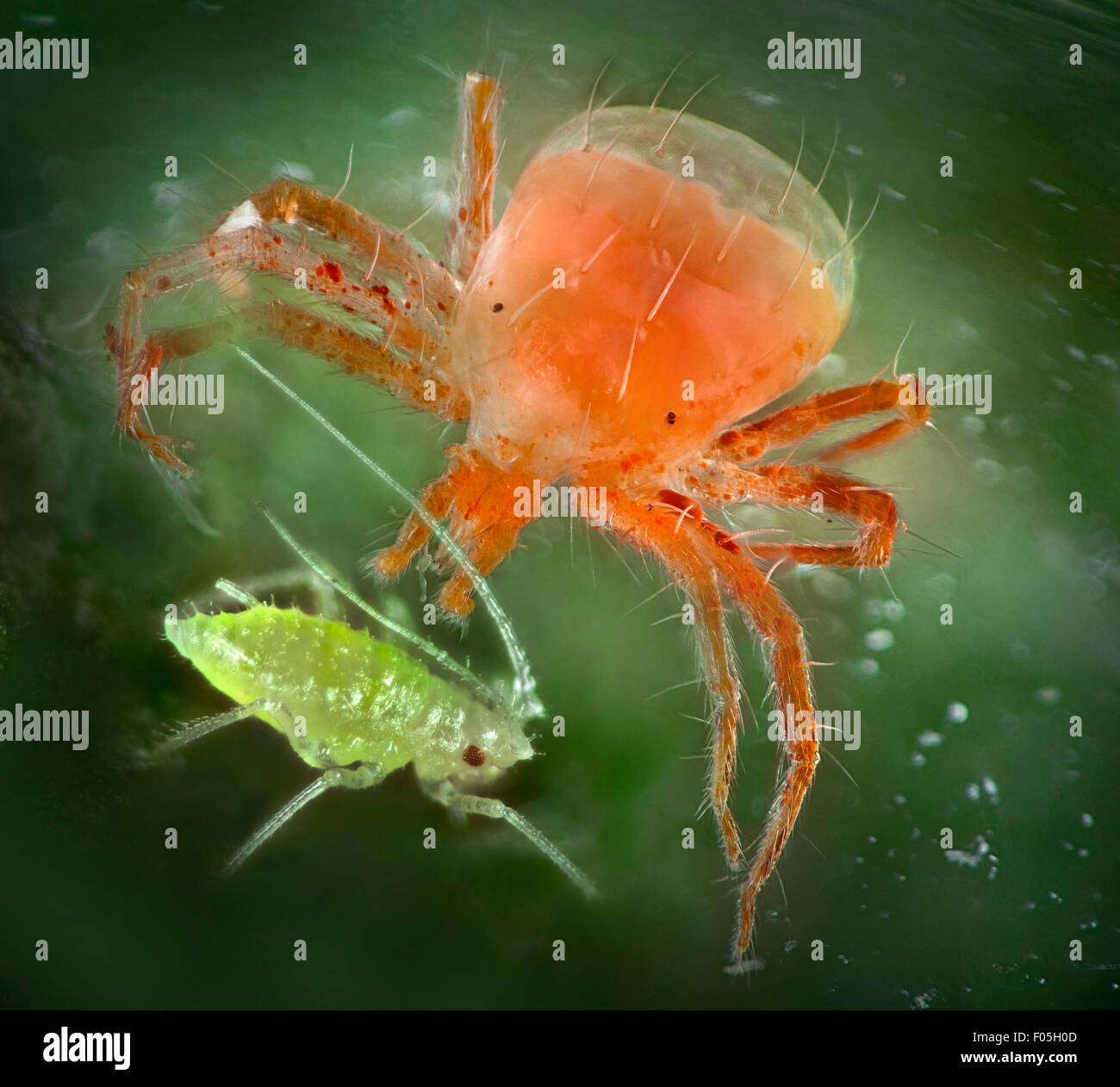 Predatory Mite. Whirligig Mite, Anystis baccarum feeding on an aphid, greenfly - Stock Image