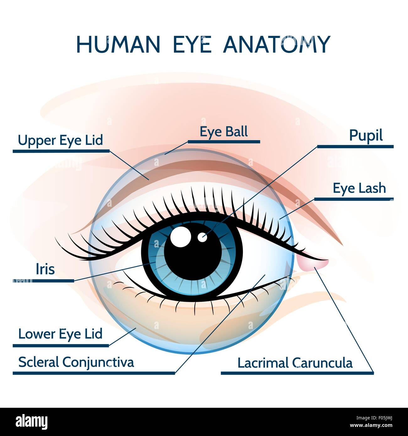 Human eye anatomy illustration. Only free font used Stock Vector Art ...