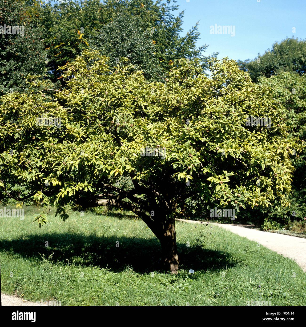 Mespilus germanica Mispel 60-80cm