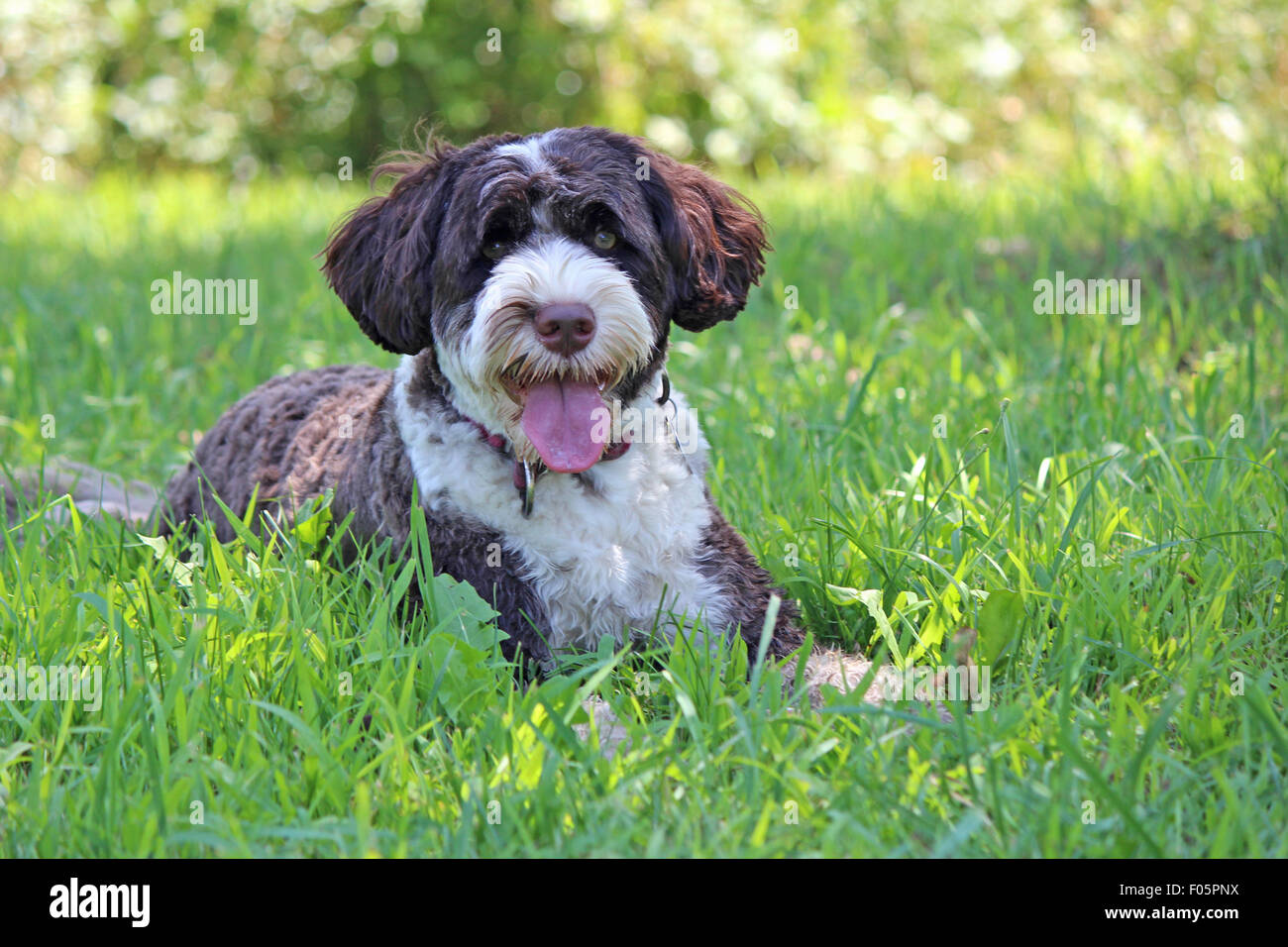 A cute brown and white Portuguese Water Dog lying in a field on a hot day in summer panting - Stock Image