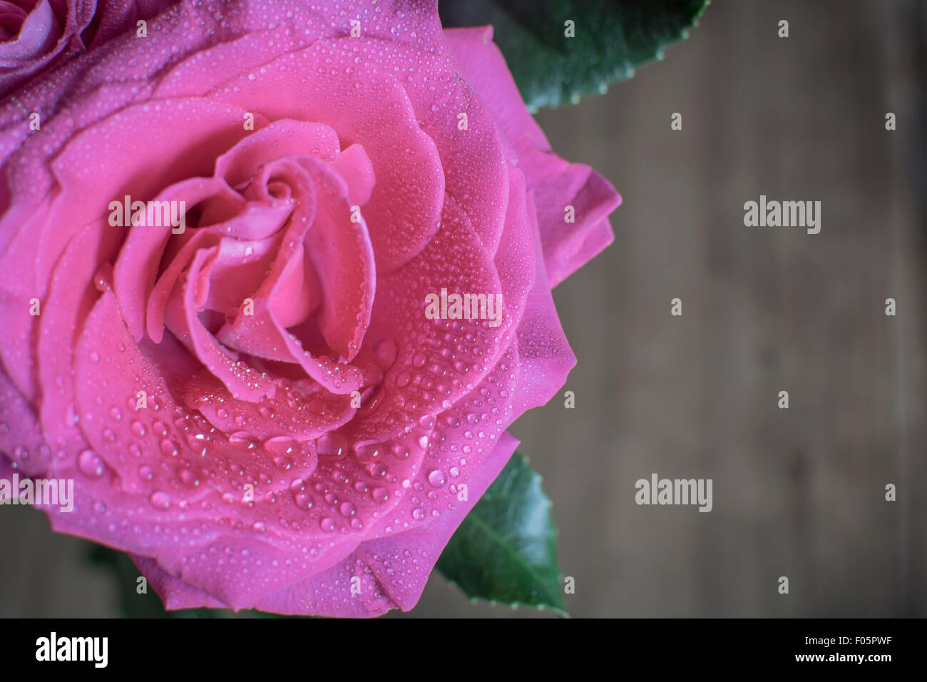 Close up of Pink Rose with moisture drops against a wooden wall - Stock Image