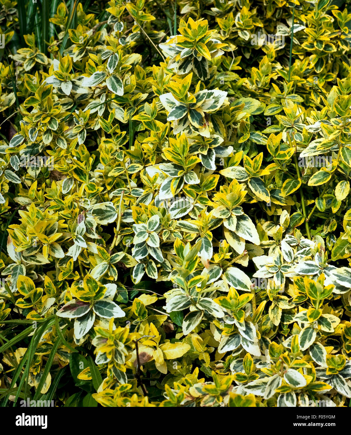 Spindelstrauch, Euonymus fortunei, Emerald«n Gold - Stock Image