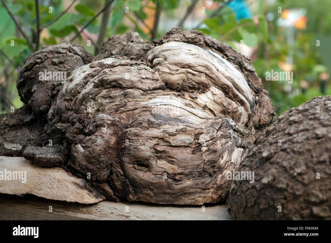 Baumwurzel - Stock Image