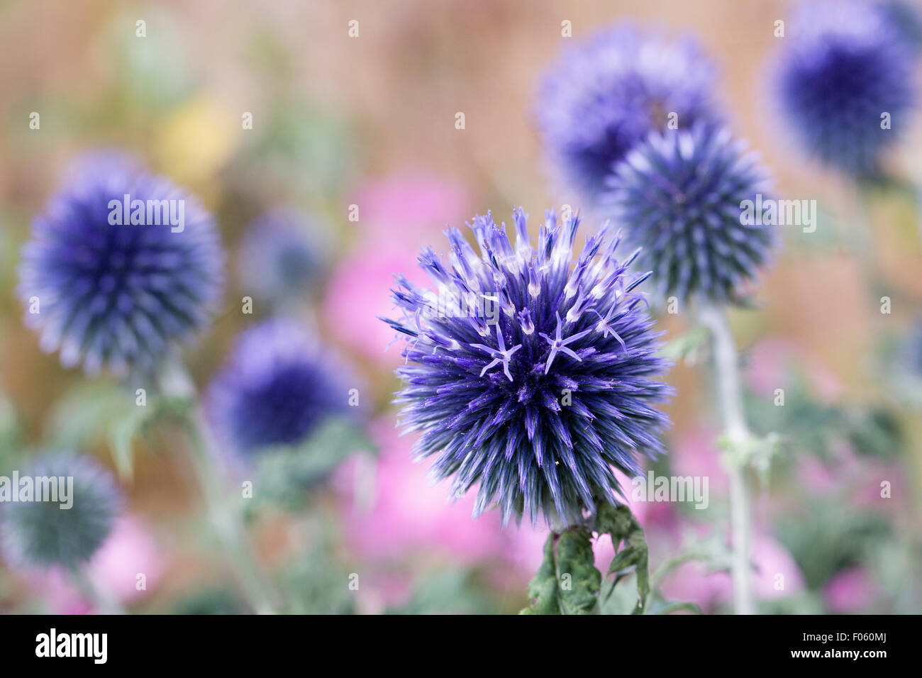 Echinops ritro 'Veitch's Blue' flower. Globe thistle flower. - Stock Image