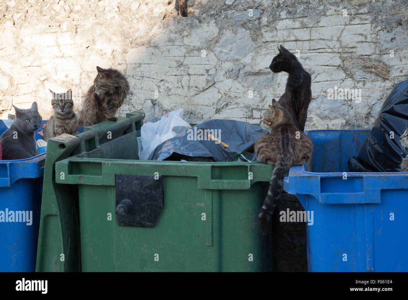 Ferrol cats scavenging in rubbish bins - Stock Image