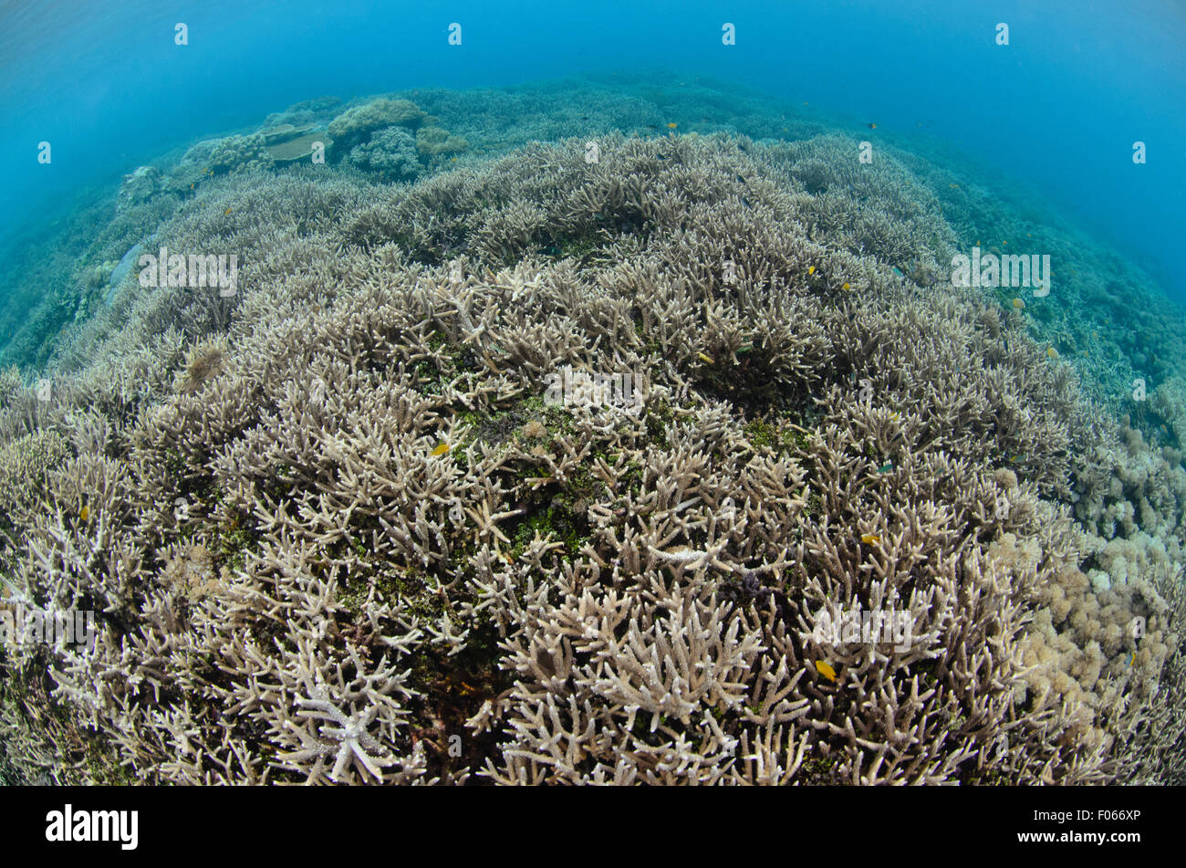 Staghorn corals in the shallows, Acropora sp., Wayag island group, Raja Ampat, Indonesia, Pacific Ocean Stock Photo