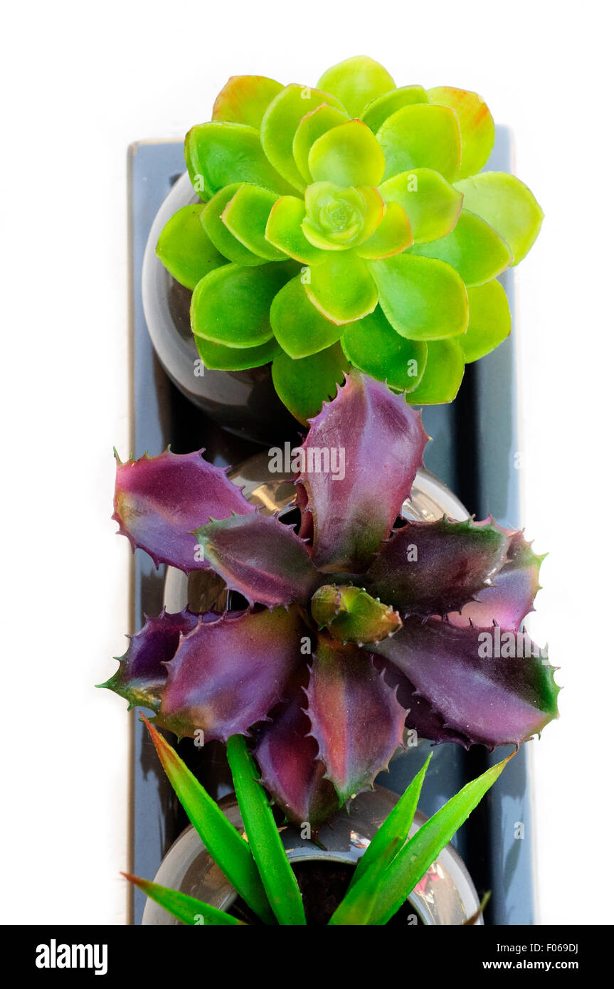 Potted Plants of Succulent on White Background, Close up. - Stock Image