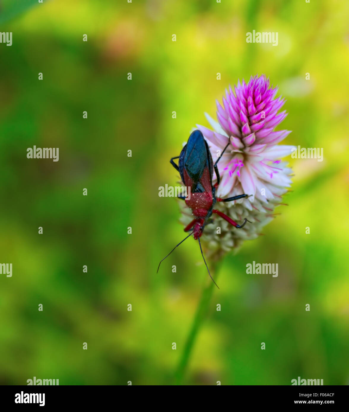 assassin bug on a plumed-cockscomb - Stock Image