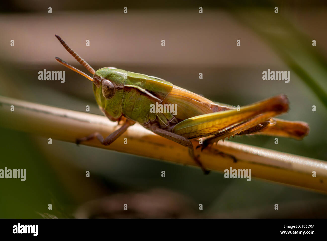 Meadow grasshopper - Stock Image