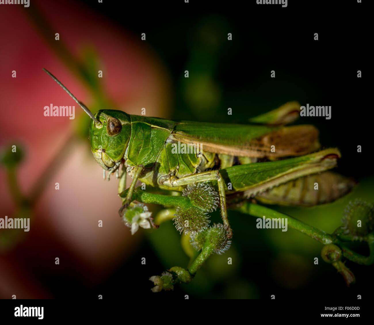 UK wildlife & nature: Green grasshopper - poised and camouflaged - Stock Image