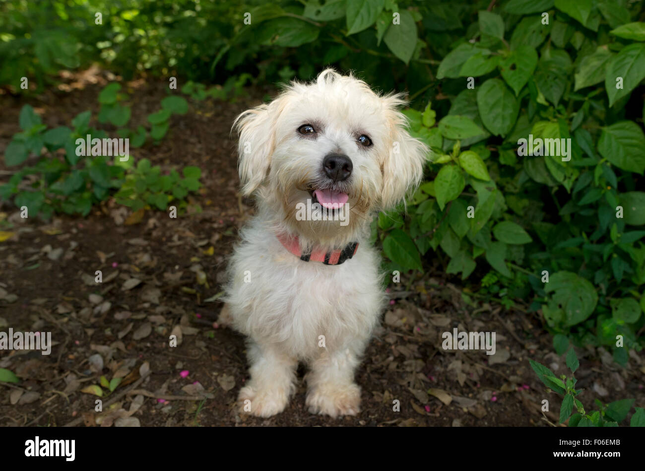 Happy Dog Is An Cute White Fluffy Happy Dog Looking Up With A Big Stock Photo Alamy
