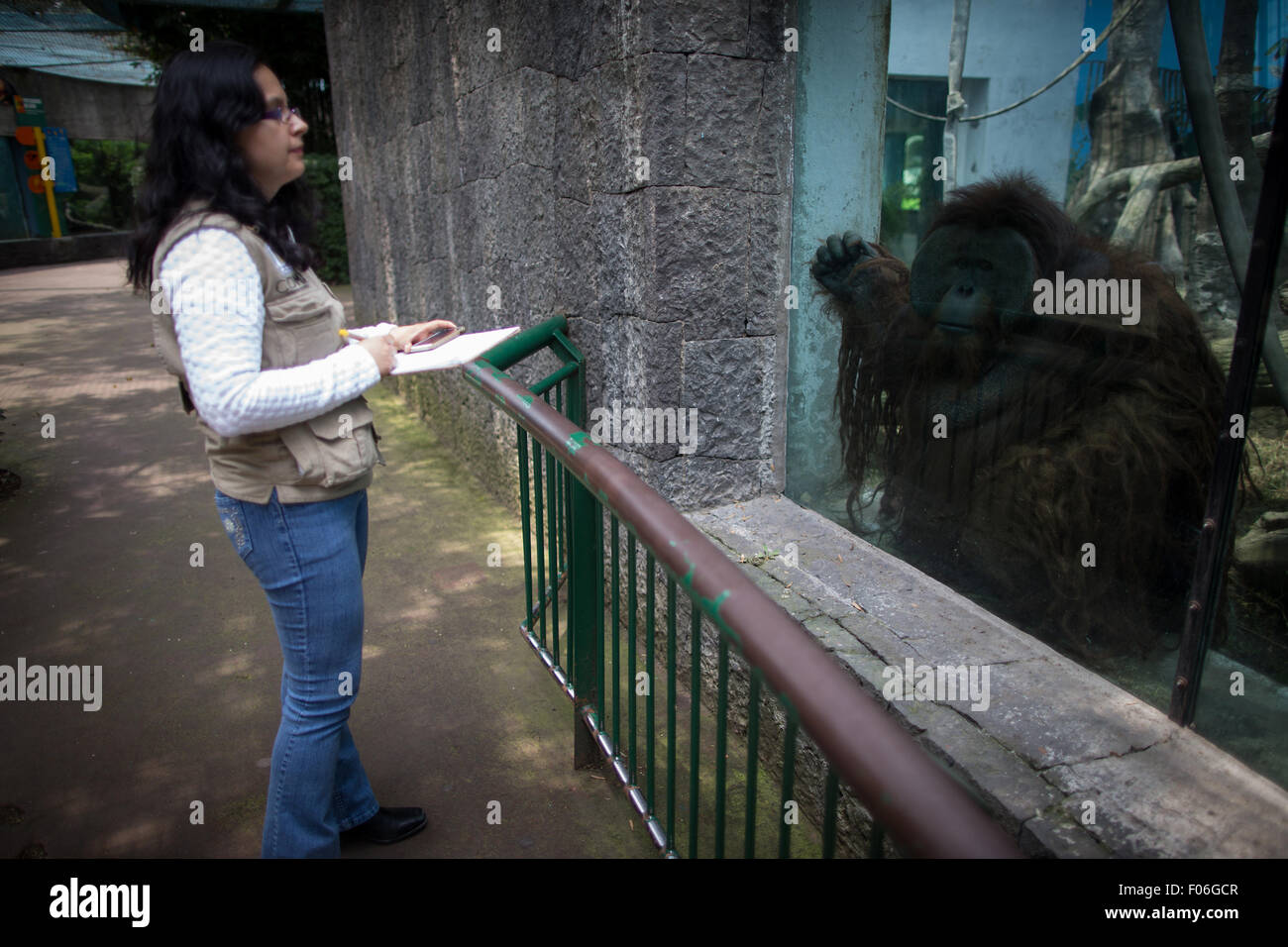 Mexico City. 3rd Aug, 2015. Image taken on Aug. 3, 2015 shows a Veterinarian watching the Orangutan 'Toto', - Stock Image