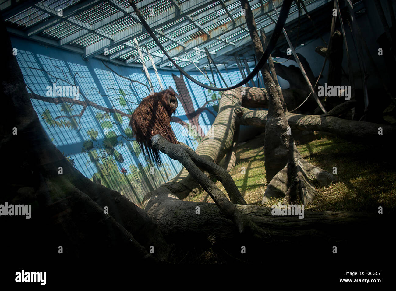Mexico City. 3rd Aug, 2015. Image taken on Aug. 3, 2015 shows the Orangutan 'Toto', staying inside its exhibitor - Stock Image