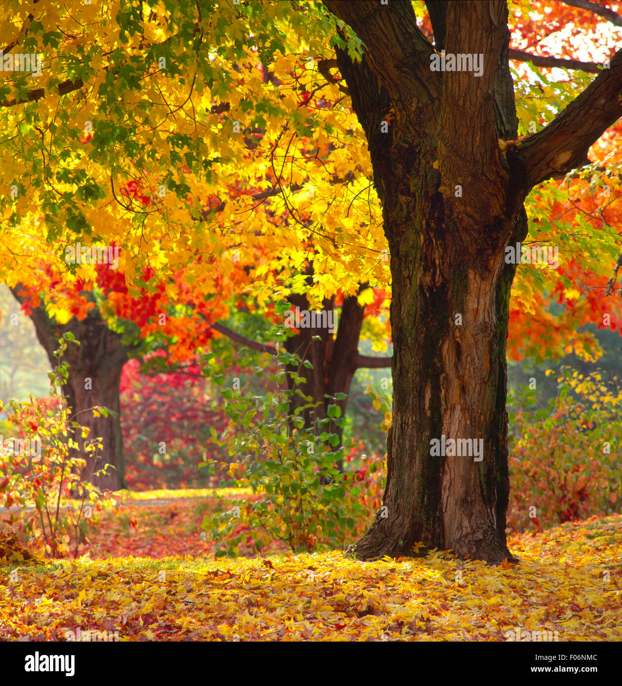 Maple trees in Andover, NH USA - Stock Image