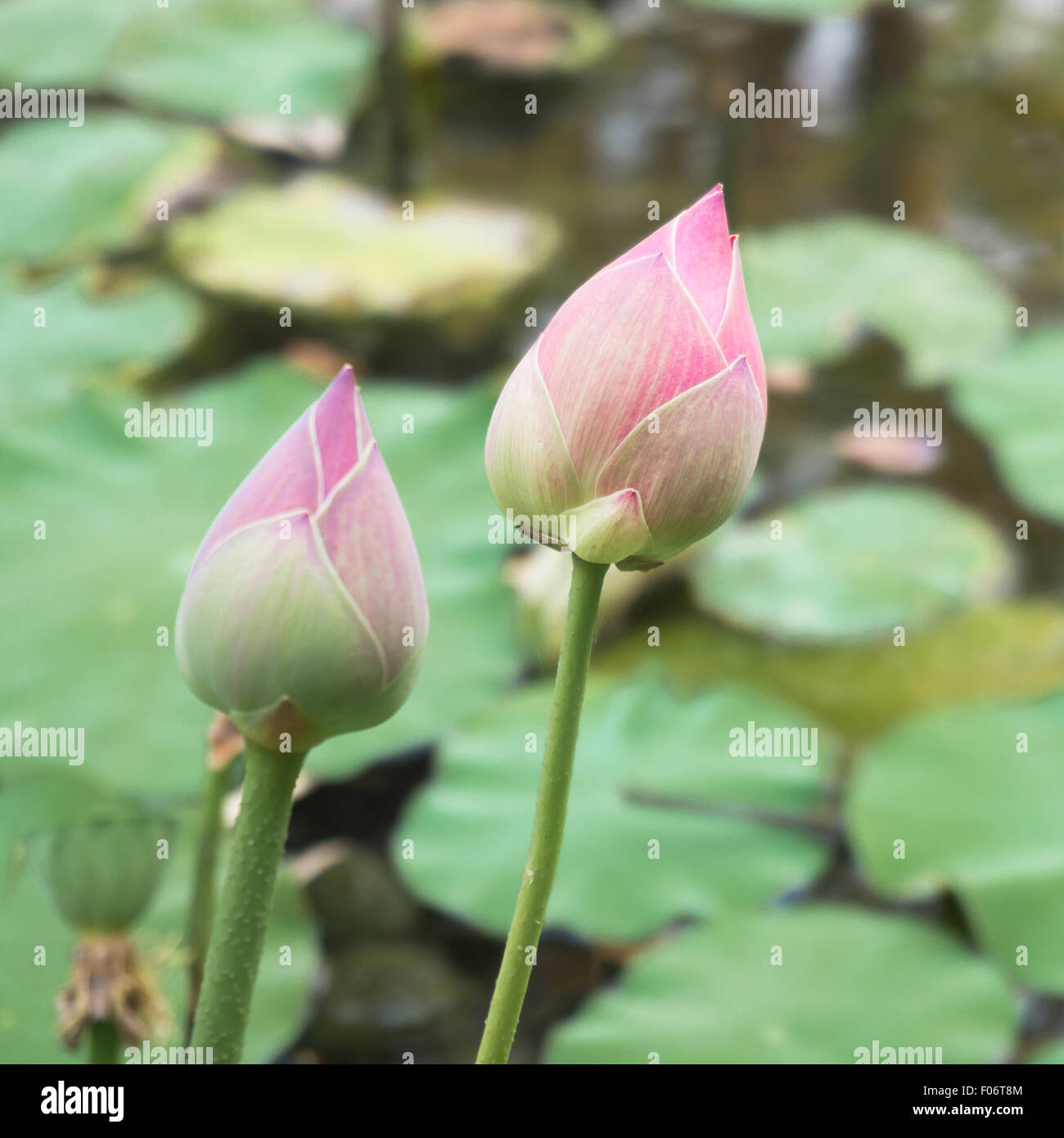 Lotus Is Water Lily That Can Use For Alternative Medicine And Stock