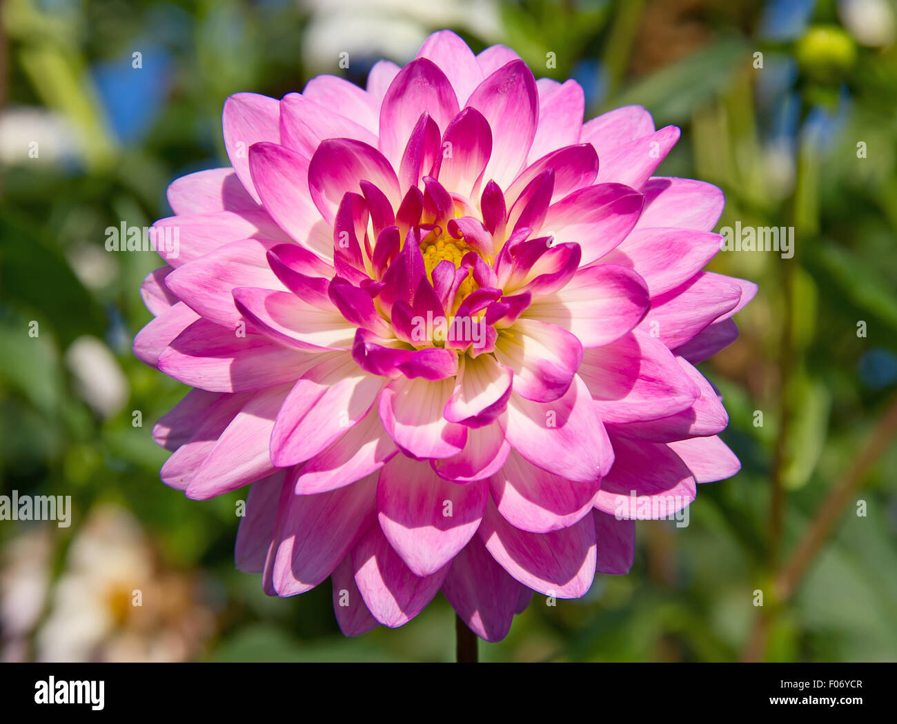 Colorful Dahlia Flower With Morning Dew Drops Stock Photo 86205079