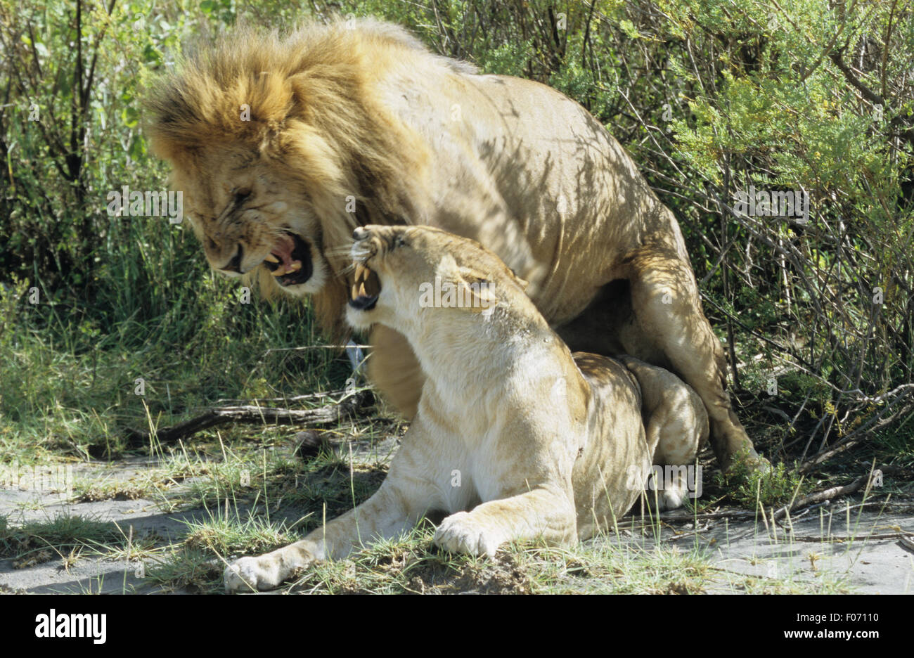 African Lion male and female taken from front male mounting female both snarling at each other - Stock Image