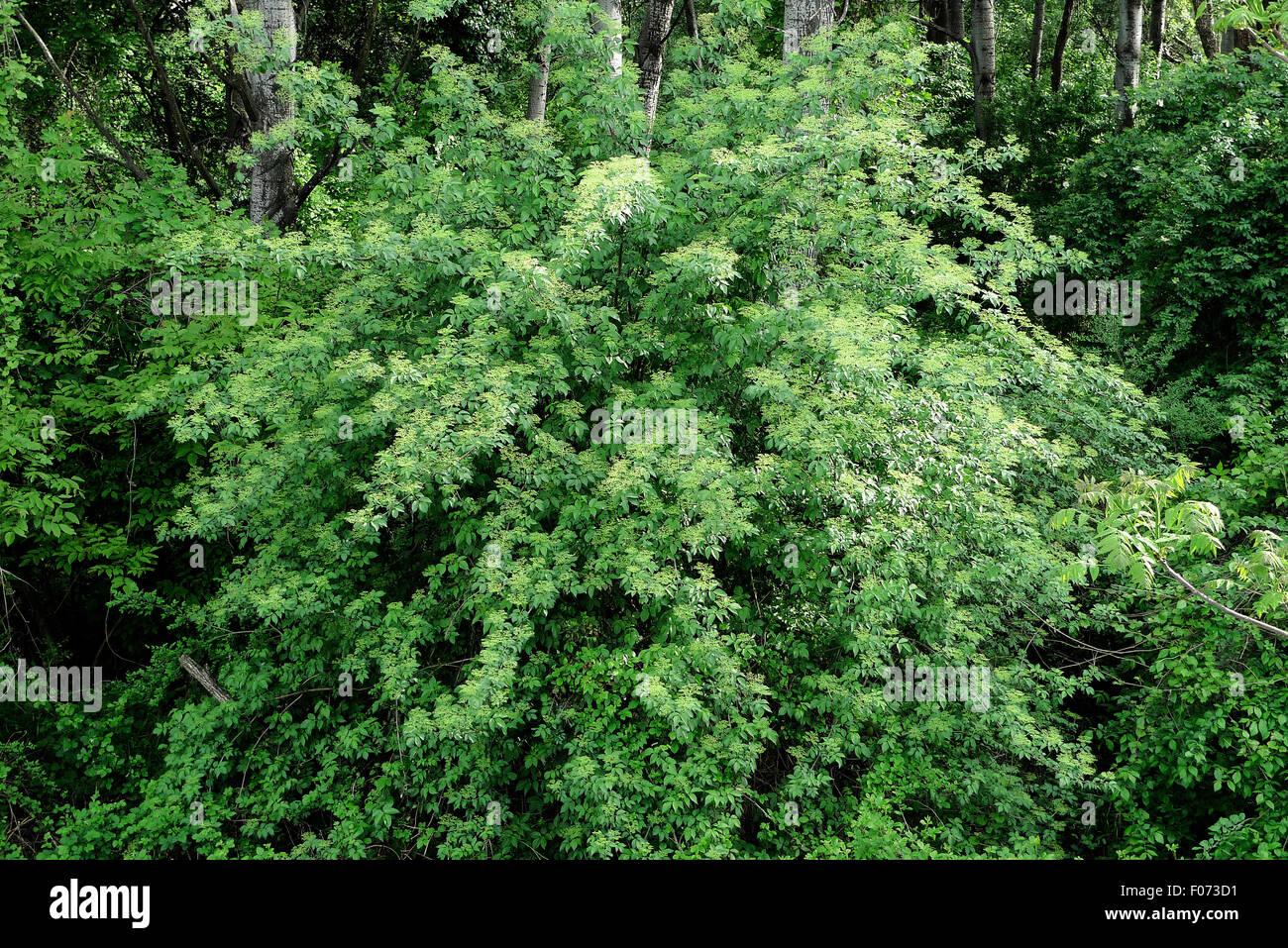 Elder tree. - Stock Image