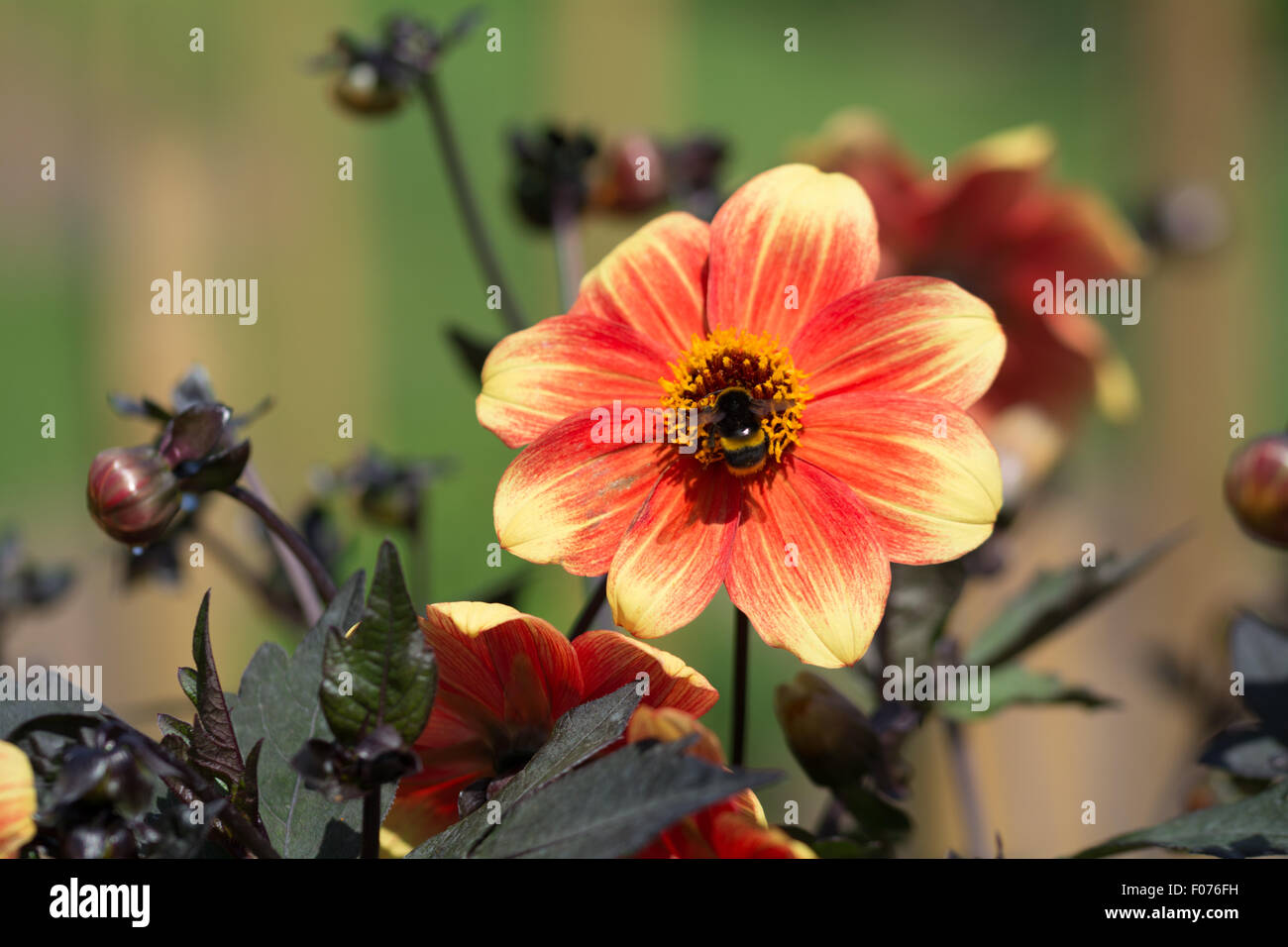 Dahlia flower revive Red and Orange single - Stock Image