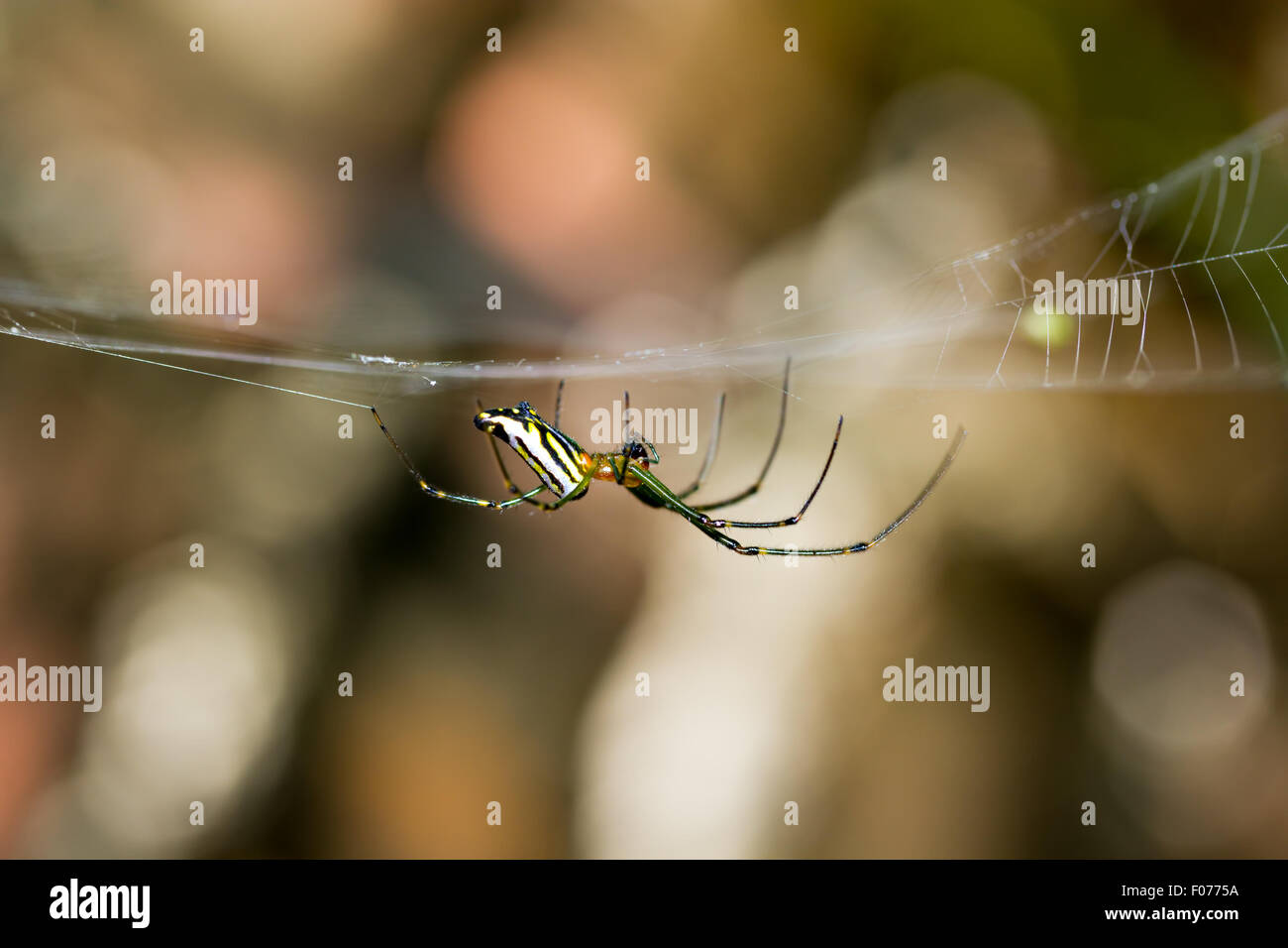 a spider on its web - Stock Image