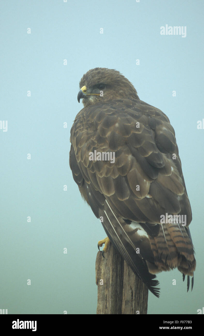 Common Buzzard captive taken from behind looking left perched on wooden fence post in mist - Stock Image