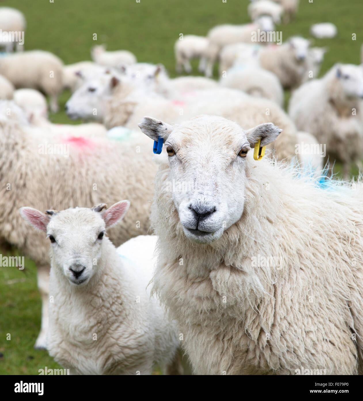 Ewe with lamb, England, UK - Stock Image
