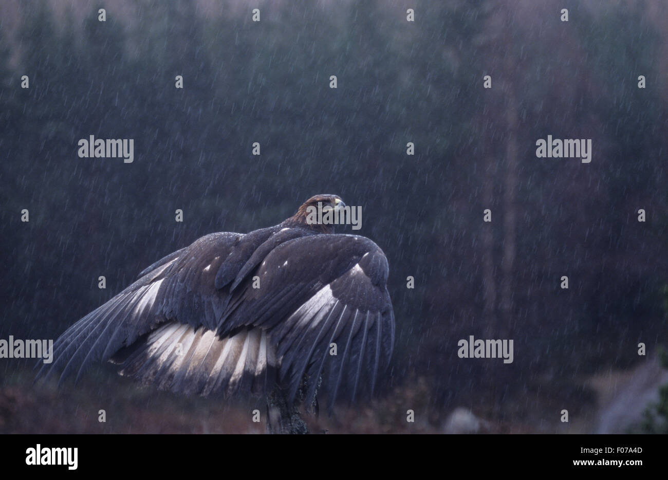 Golden Eagle Captive wet raining taken from behind looking right wings open showing white tail perched on tree trunk - Stock Image