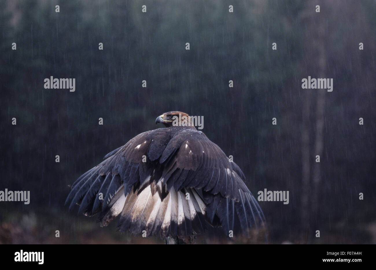 Golden Eagle Captive wet raining taken from behind looking left wings open showing white tail perched on tree trunk - Stock Image