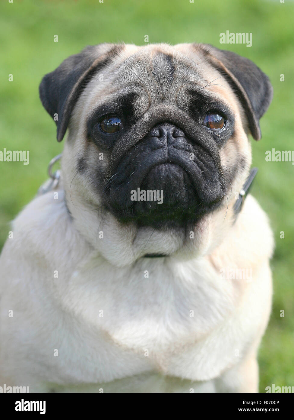The portrait of Pug dog in the garden - Stock Image