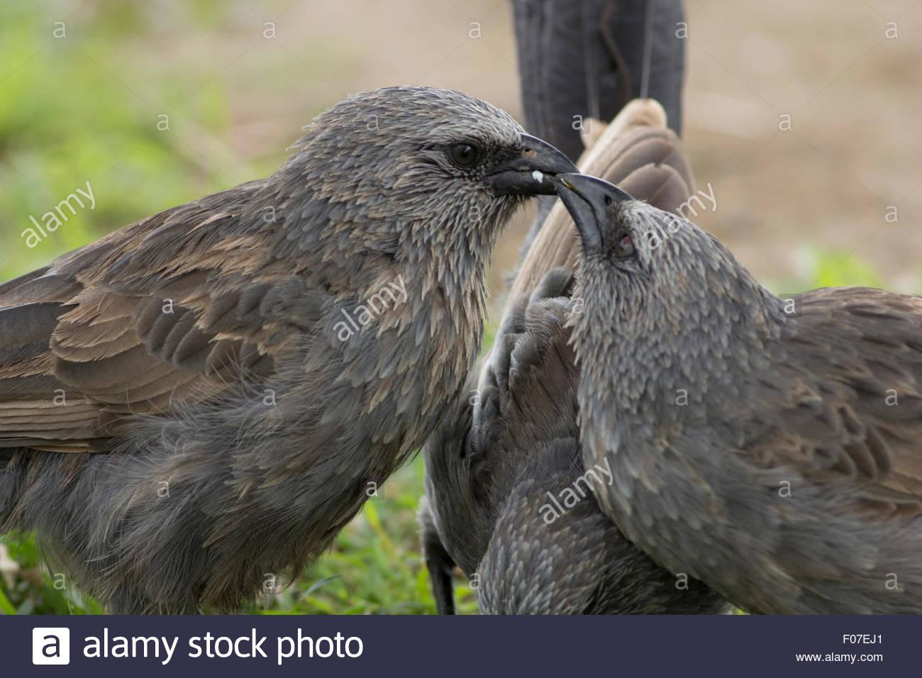 Apostlebird feeding large juvenile. - Stock Image