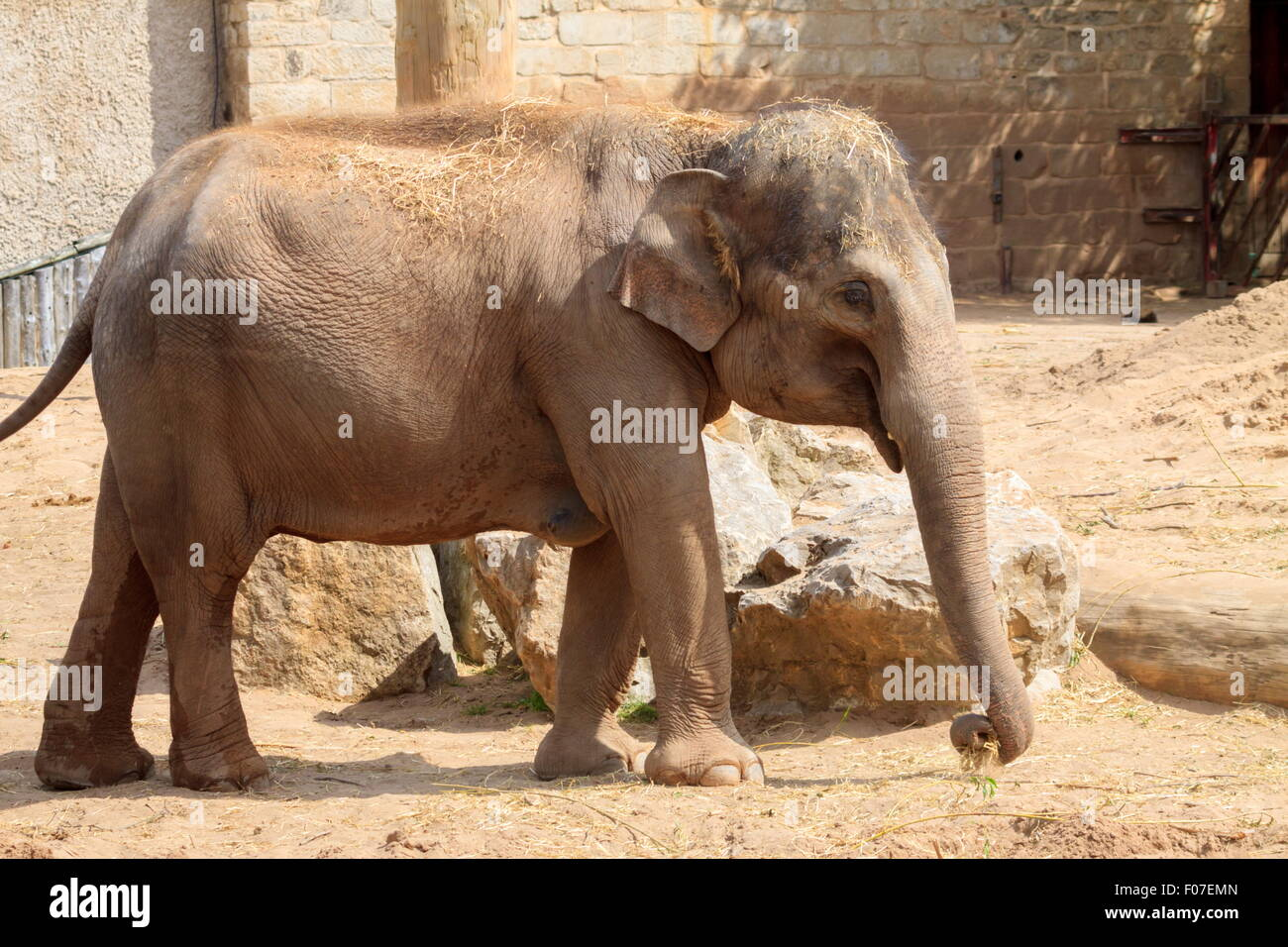 Young elephant at Chester Zoo - Stock Image