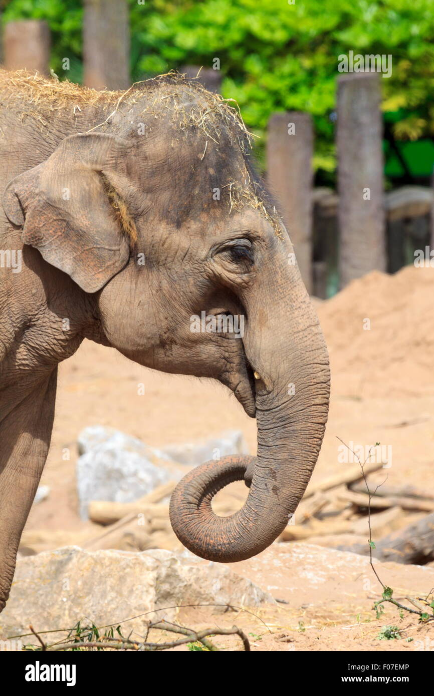 Side view of an Elephants head - Stock Image