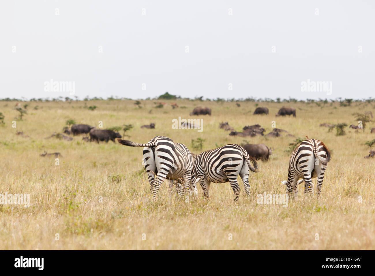 Zebras and Buffalos in Nairobi National Park in Kenya. - Stock Image