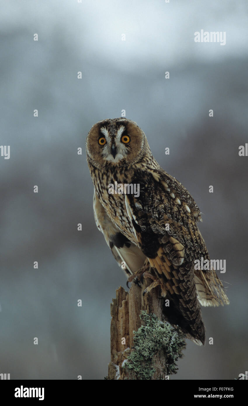 Long Eared Owl taken in profile looking into camera eyes wide open perched on lichen covered branch - Stock Image