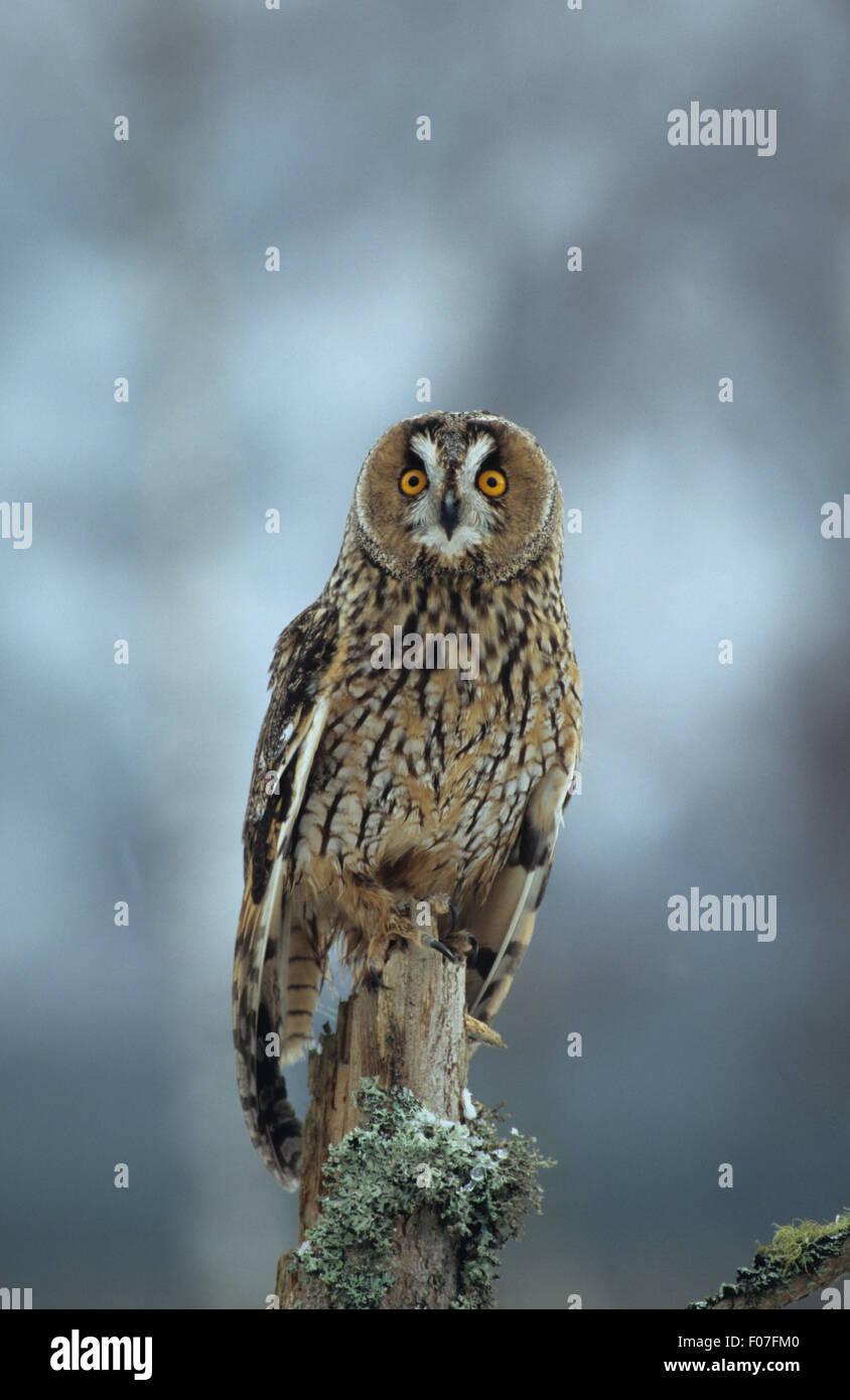 Long Eared Owl taken from front eyes wide open perched on branch in snow storm - Stock Image